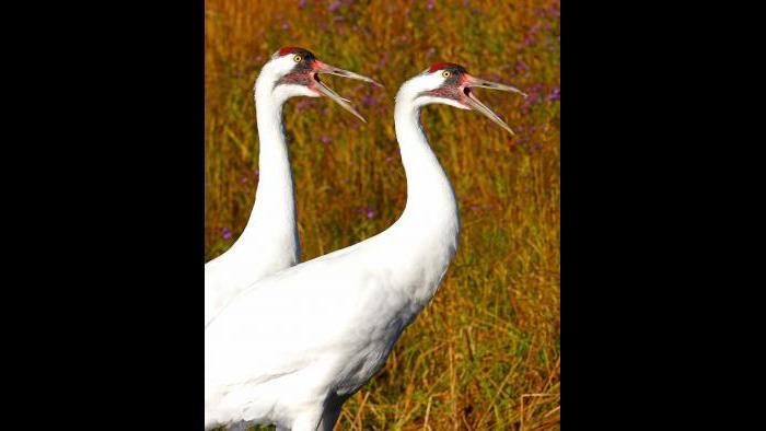 Whopping cranes (Photo/John Ford)