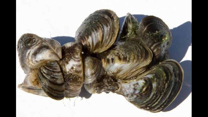Zebra mussels (Credit: Shedd Aquarium)