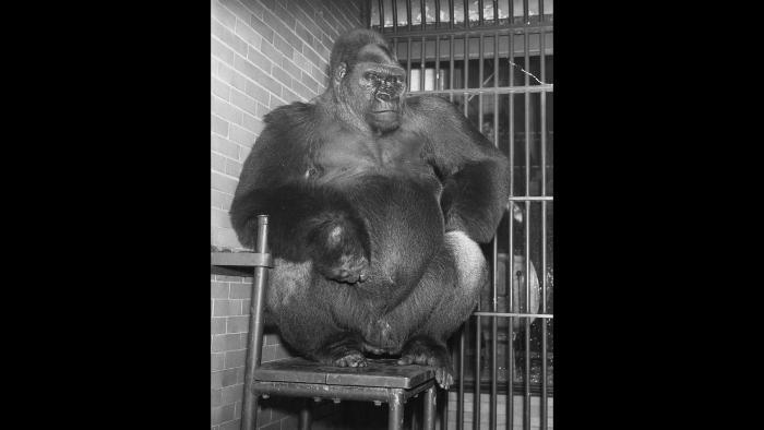 """Western lowland gorilla Bushman, shown here sitting on his preferred chair in the 1940s, was arguably the most iconic zoo animal of his era. Bushman's chair will be on display at """"From Swans to Science: 150 Years of Lincoln Park Zoo."""" (Courtesy Chicago Park District and Chicago History Museum)"""