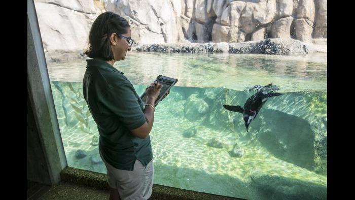 In 2017, a volunteer uses ZooMonitor, an app created by Lincoln Park Zoo to record animal behavioral data. (Todd Rosenberg / Lincoln Park Zoo)