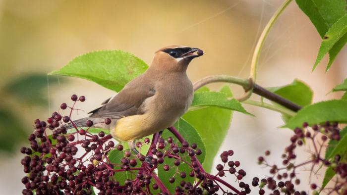 Cedar Waxwing, Middlefork Savanna, Lake County (Courtesy of Alison Newberry and Matt Sparapani)