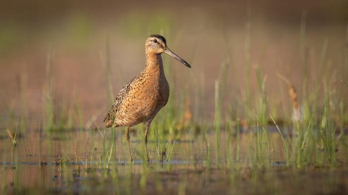 Long-billed Dowitcher, Montrose Beach, Cook County (Courtesy of Alison Newberry and Matt Sparapani)