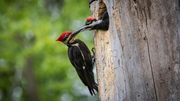 Adult Male Pileated Woodpecker and Chick, Captain Daniel Wright Woods, Lake County (Courtesy of Alison Newberry and Matt Sparapani)