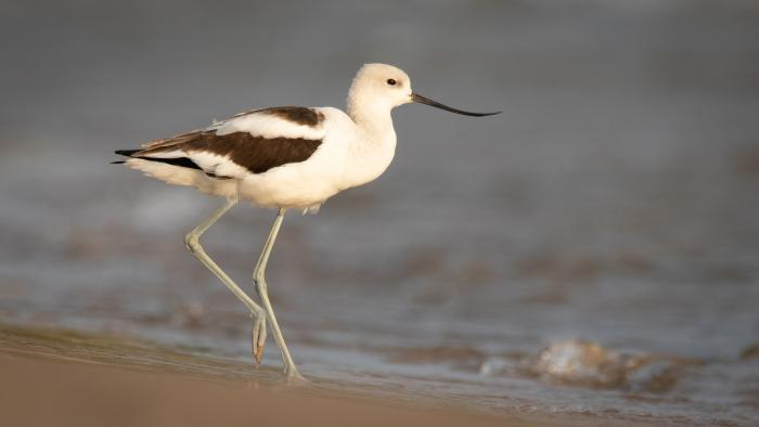 American Avocet, Montrose Beach, Cook County (Courtesy of Alison Newberry and Matt Sparapani)