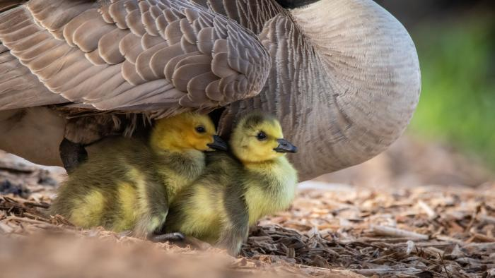 Canada Goose and Goslings, North Pond, Cook County (Courtesy of Alison Newberry and Matt Sparapani)