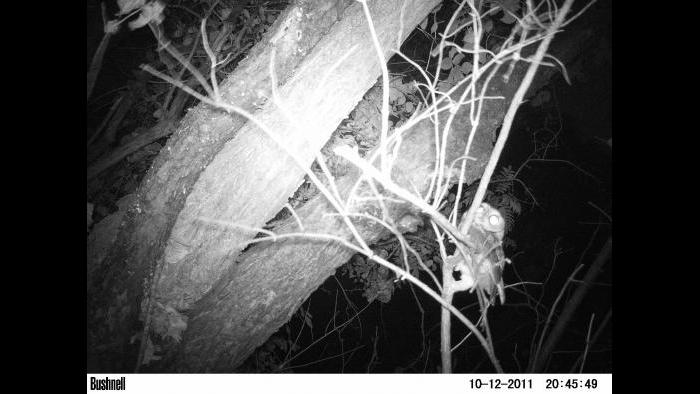 A barred owl gets into view of a camera trap.