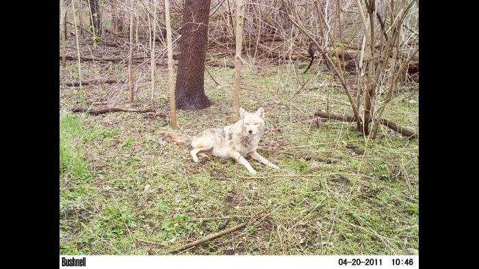 A coyote gets into view of a camera trap.