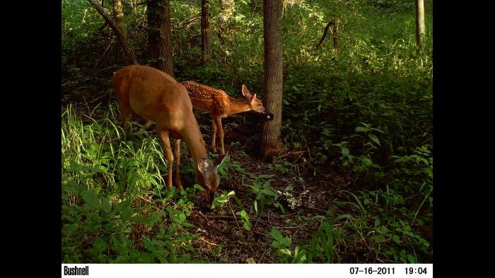 Deer get into view of a camera trap.