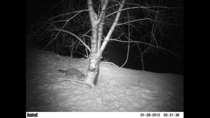 A mink gets into view of a camera trap.