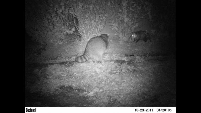 A raccoon and opossum get into view of a camera trap.