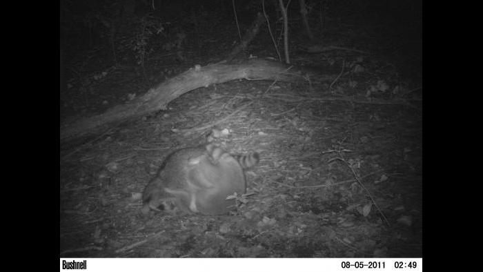 Raccoons get into view of a camera trap.