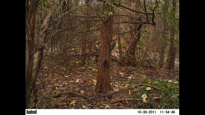 A red-bellied woodpecker gets into view of a camera trap.