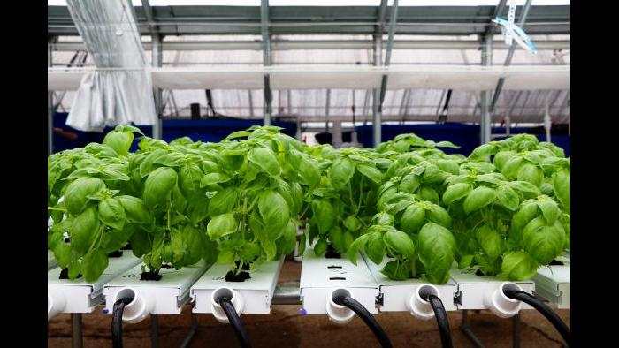 According to Kant, basil is one of their most popular crops. (Evan Garcia)