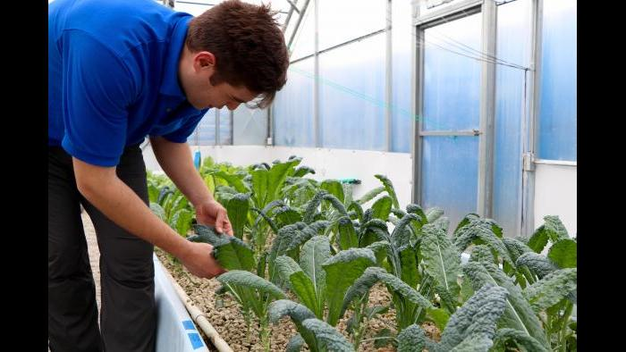 """Kant examines his kale harvest. """"I walk around this greenhouse all day and I pick leaves and eat them,"""" Kant said. """"I'm the first canary in the coal mine."""""""