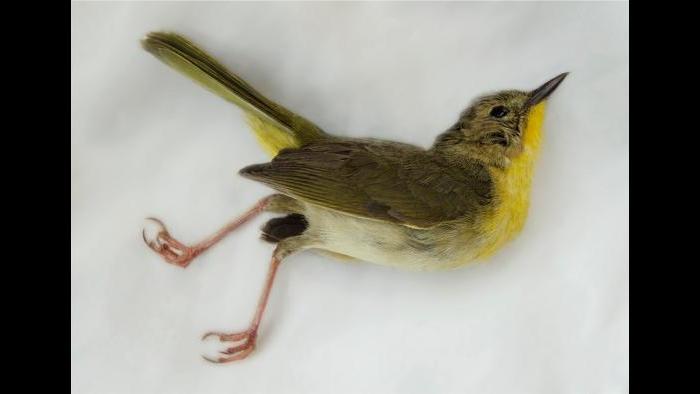 A common yellowthroat. (Art Fox)