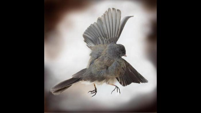 A dark-eyed junco. (Art Fox)