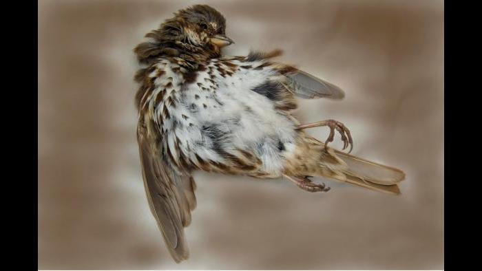 A song sparrow. (Art Fox)