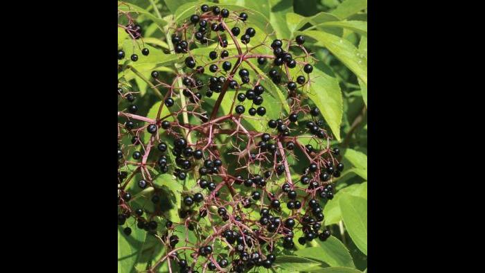 Black elderberry (Credit: Charlotte Adelman and Bernard Schwartz, Ohio University Press)