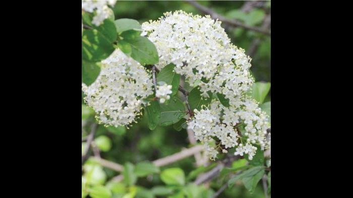 Black elderberry, spring (Credit: Charlotte Adelman and Bernard Schwartz, Ohio University Press)