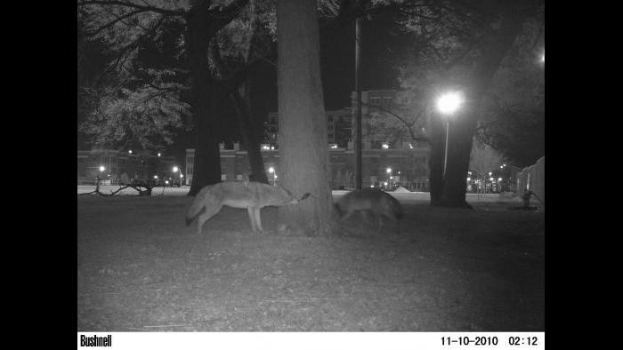 Chicago Wildlife Watch explores wildlife that utilize public spaces such as these coyotes foraging in a park on the Northwest Side of Chicago. (Courtesy of Urban Wildlife Institute/Lincoln Park Zoo)