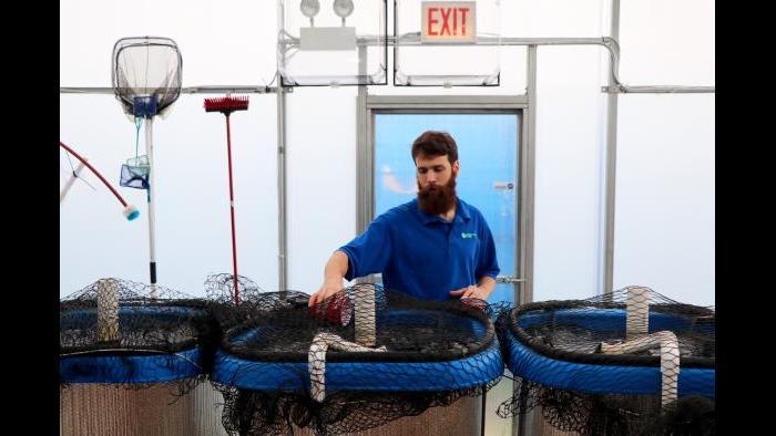 Shockey Funke feeds juvenile tilapia swimming in the greenhouse's smaller tanks. (Evan Garcia)