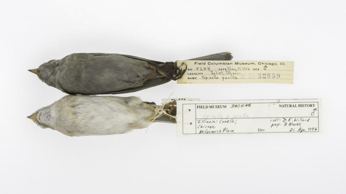 Field sparrows collected in Joliet, Ill., in 1906 (top) and Chicago in 1996 (bottom). (Courtesy of Carl Fuldner and Shane DuBay)
