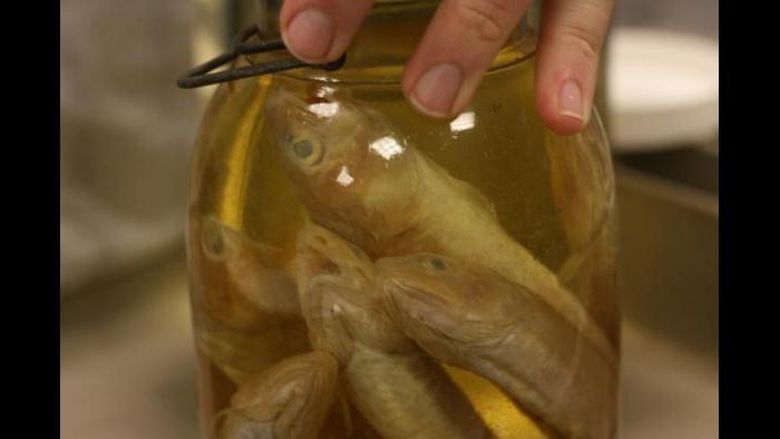 Preserved cusk eels. (Chloe Riley / Chicago Tonight)