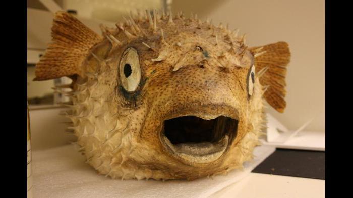 Puffer fish. (Chloe Riley / Chicago Tonight)