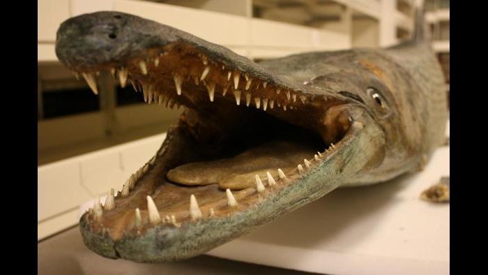 Alligator Gar specimen at the Field Museum. (Chloe Riley / Chicago Tonight)