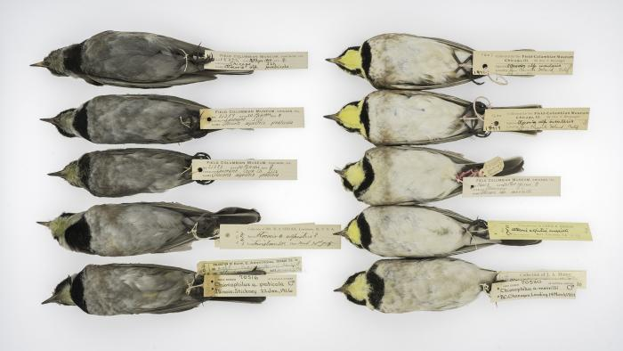 Horned larks collected in Illinois between 1904 and 1916 (left) and California and British Columbia between 1903 and 1922 (right). (Courtesy of Carl Fuldner and Shane DuBay)