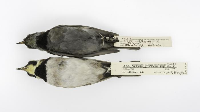 Horned larks collected in Chicago in 1904 (top) and in DeKalb County, Ill., in 1966 (bottom). (Courtesy of Carl Fuldner and Shane DuBay)