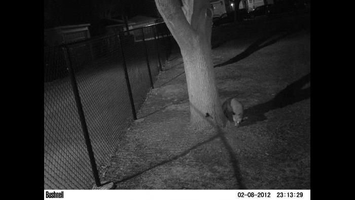 This red fox sits facing an Urban Wildlife Institute camera trap. (Courtesy of Urban Wildlife Institute/Lincoln Park Zoo)