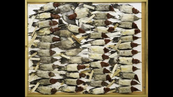 Red-headed woodpeckers from the specimen collection at The Field Museum. (Courtesy of Carl Fuldner and Shane DuBay)