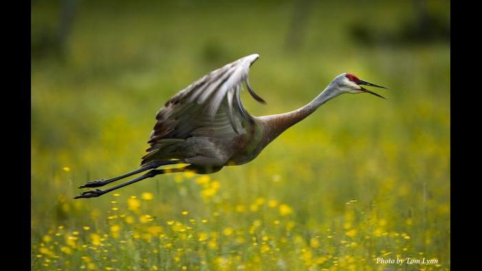 A sandhill crane in flight (Photo/Tom Lynn)
