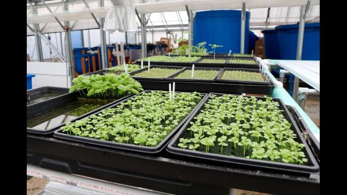 """Kant said his business focuses on a consistent and quality crop yield of leafy greens, but that they're open to diversifying crop type """"down the line."""" (Evan Garcia)"""