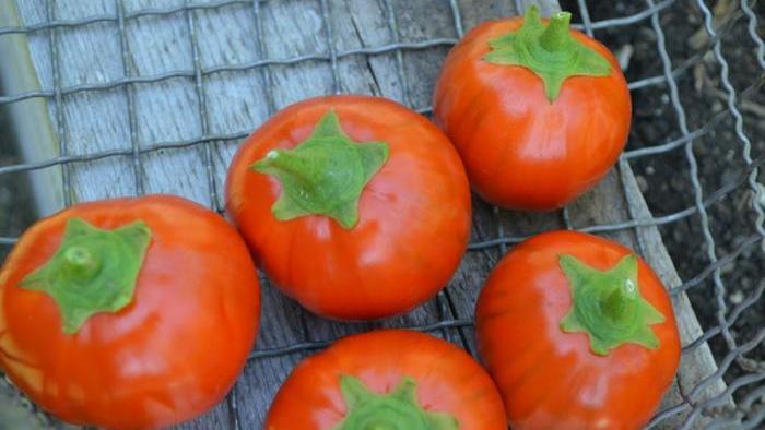 Harvested Turkish orange eggplants.
