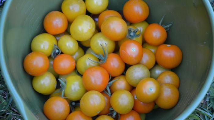 Harvested sungold and gold berry tomatoes.