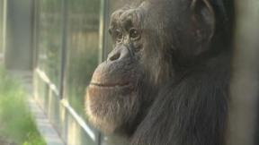 Mind of a Chimpanzee