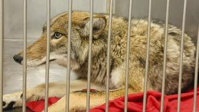 This Friday, Jan. 10, 2020 photo provided by Chicago Animal Care and Control in Chicago shows an injured coyote after it was successfully located and safely darted with a tranquilizer. (Chicago Animal Care and Control via AP)