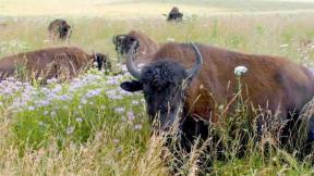 Bison at Midewin National Tallgrass Prairie. (USDA Forest Service)