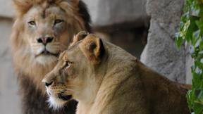 Brookfield Zoo lions Zenda, left, and Isis. (Jim Schulz / Chicago Zoological Society)