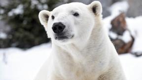 Hudson, a polar bear at Brookfield Zoo (Courtesy Chicago Zoological Society)