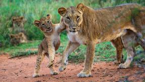 Lion populations have plummeted in Africa since 1950 as a result of habitat loss and poaching. (Courtesy Susan McConnell)