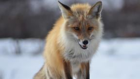 A red fox in Denali National Park and Preserve, Alaska (Katherine Belcher / U.S. National Park Service)