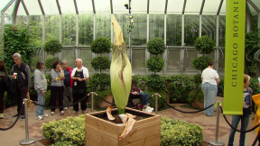 August 26, 2015 - Corpse Flower Hours Away From Big Bloom